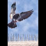 Bird-B-Gone, Inc. - Bird-B-Gone Polycarbonate Plastic Bird Spike